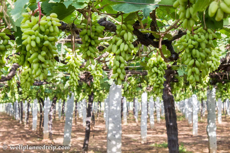 Grape farm on the way to Nandi hills