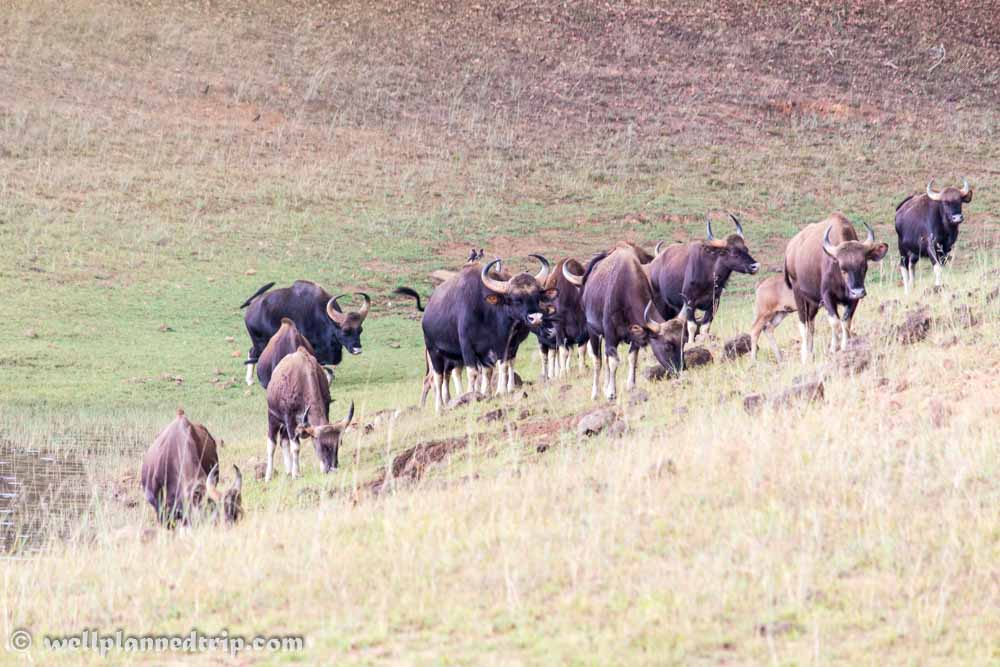 Wild Buffalos : Thekkady boating safari