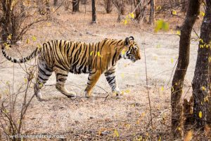 Read more about the article Ranthambore National Park, Tiger Safari