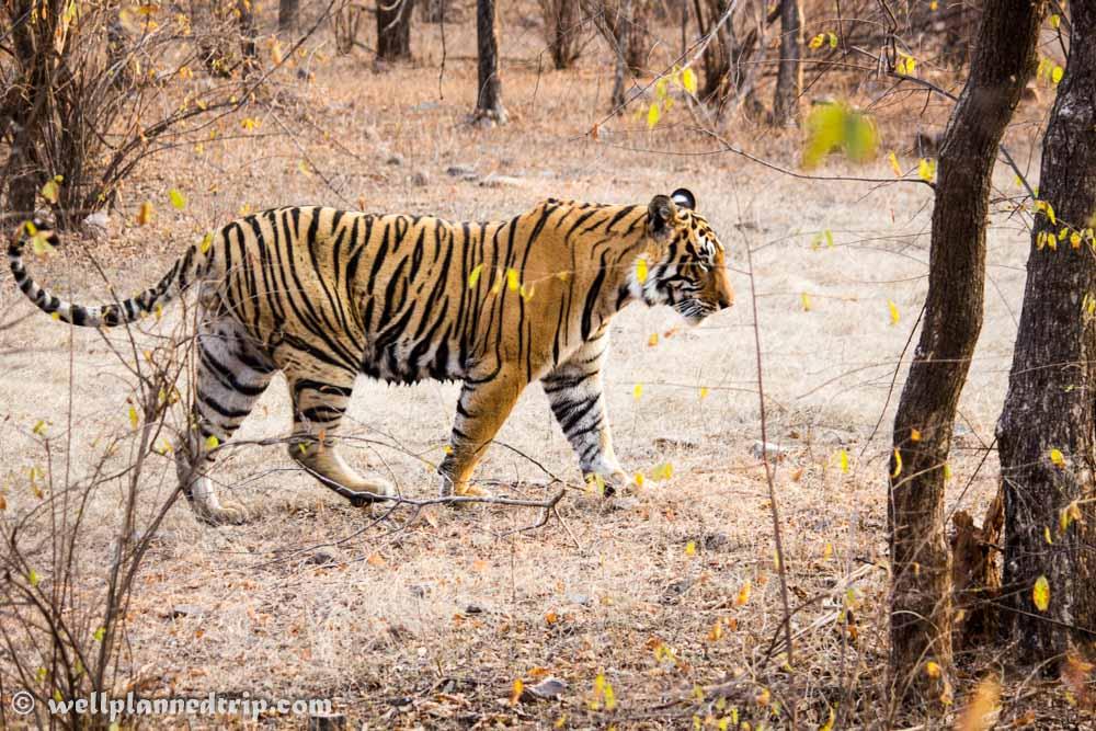 Ranthambore National Park, Tiger Safari
